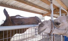 Horse and camel touching noses