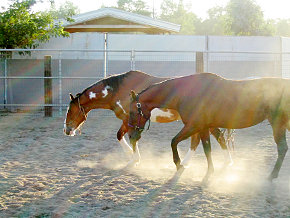 Two horses walking and raising dust